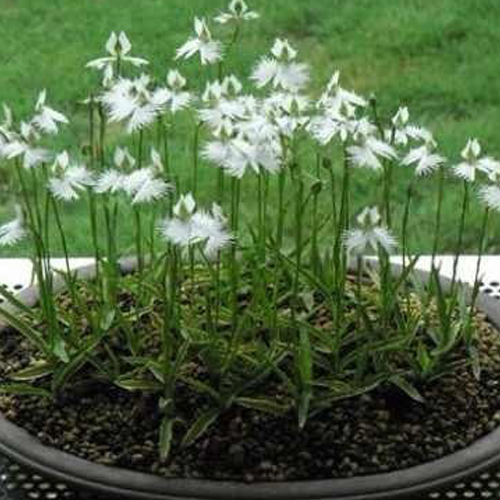 200 japanese radiata white egret habenaria pecteilis fringed orchid in warmer climates grow white egret flower in pots and give your plant three months of cold 30 35f or below over the winter before putting back outside mightylinksfo